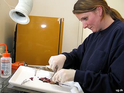 Præcisionsarbejde - Hjertet på en mus er på størrelse med en lille ært.