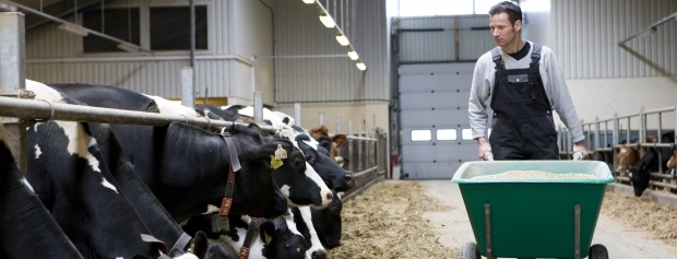 Landmandselev fodrer køer i stalden
