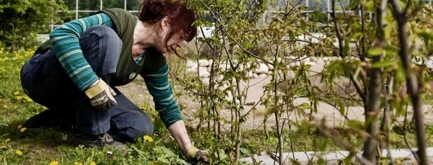 Produktionsgartner luger mellem nyplantede træer